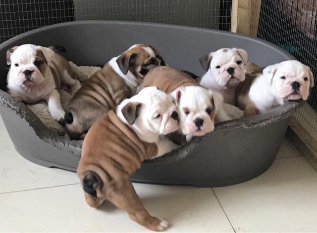 Excelentes cachorros de raza bulldog ingles