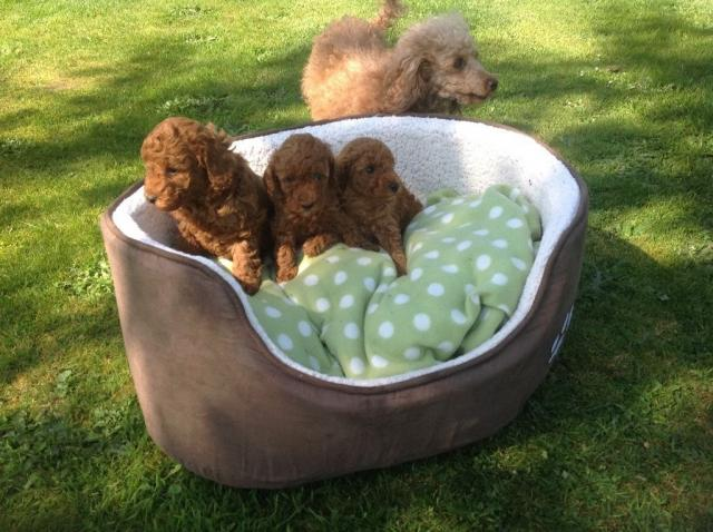 Magnificos cachorritos de caniche toy