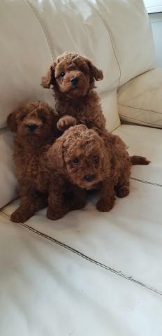 Excelentes cachorritos de caniche toy puros