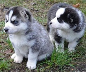 regalo cachorros husky disponibles