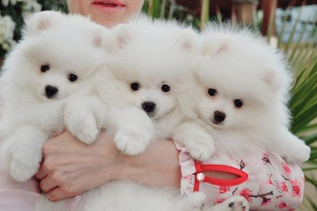 Regalo Cachorro de Pomerania entrenado en casa para adopción