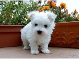 Regalo Cachorro de Bichon maltés entrenado en casa para adopción