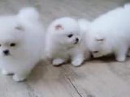 Cachorros Lulu Pomeranian Mini Toy