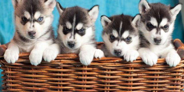Regalo macho y hembra Husky siberiano cachorros