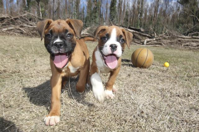 Regalo Cachorros Adorable Boxer macho y hembra