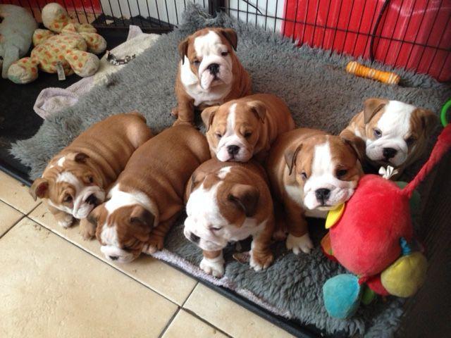 Regalo Cachorros Bulldog Inglés Para Su Adopcion