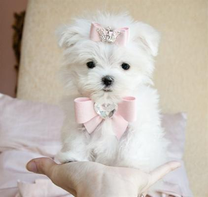 Regalo Mini Toy Cachorros Bichon Maltes,