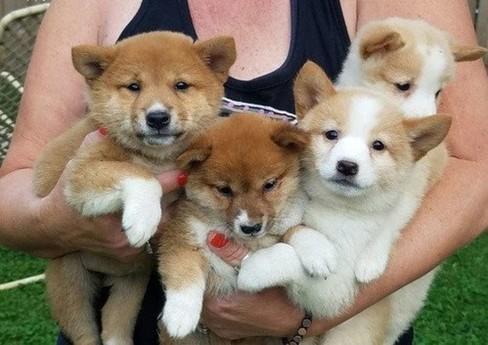 Regalo Adorable Cachorros shiba inu