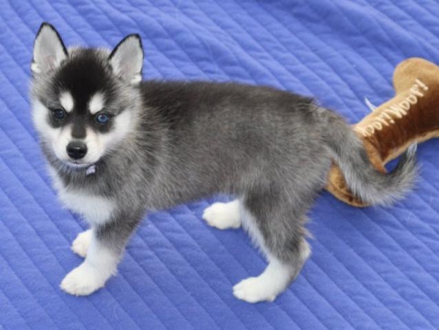 Regalo Husky Siberiano Para Adopcion