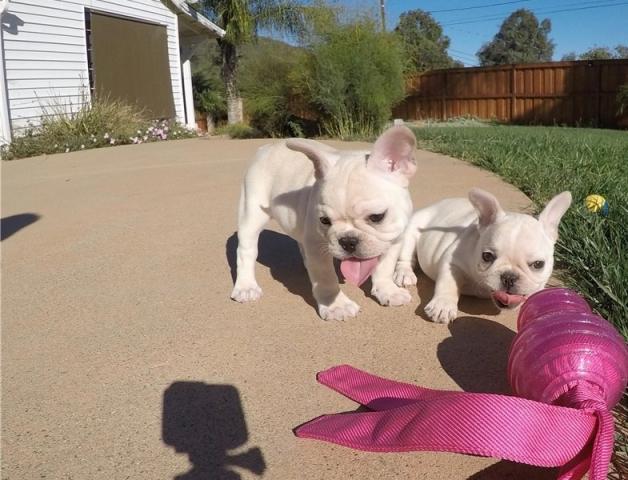 Regalo Cachorros Bulldogs Frances Macho y Hembra Preciosos