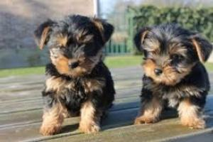 Regalo Cachorros Yorkshire Terrier Mini Toy,
