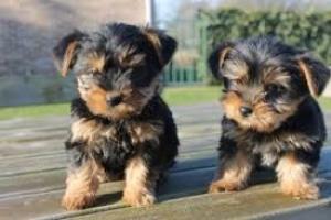Regalo Cachorros Yorkshire Terrier Mini Toy,
