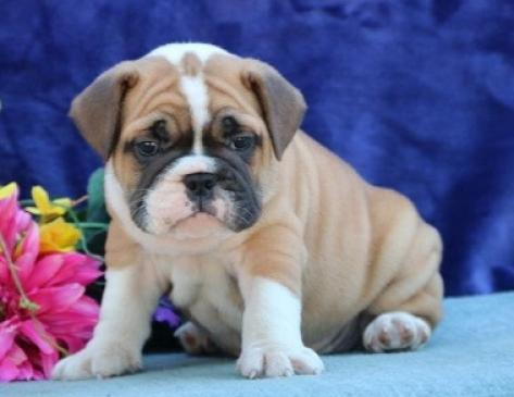 maravillosos cachorros de bulldog inglés para adopción