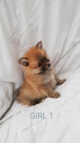 Kc Reg Fawn Pug Puppy De Padres Probados Para La Salud