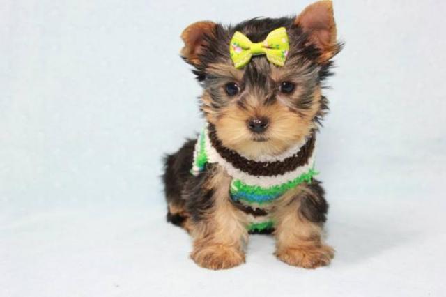 Regalo Cachorro de Yorkshire entrenado en casa para adopción