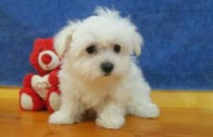 Regalo mini toy cachorros bichon maltes macho y hembra
