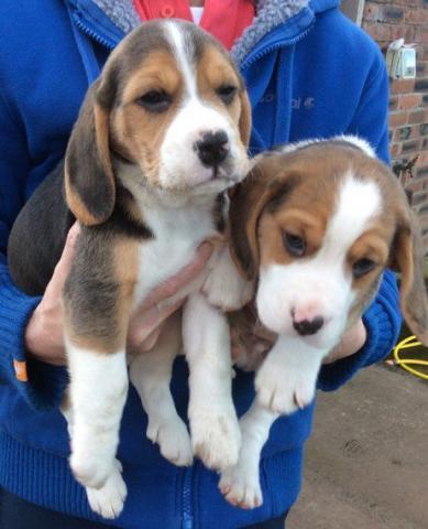 Regalo Cachorros De Beagle Precioso en adopcion