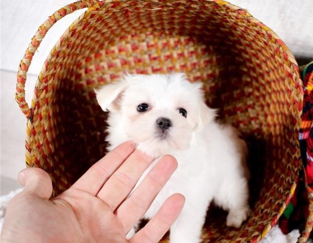 ***Regalo bichon maltes mini toy cachorros****