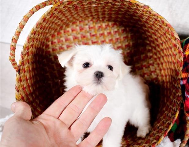 ***Regalo bichon maltes mini toy cachorros****