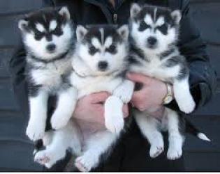 Regalo Cachorros Siberian Husky