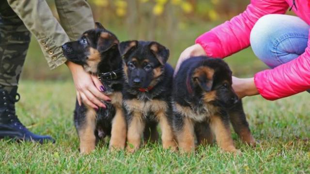 Regalo Fantastico Cachorros Pastor Aleman