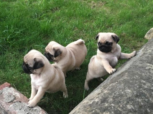 Regalo pug carlino cachorros para adopcion