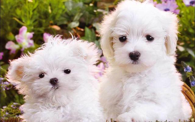 Regalo Excelente cachorros Shiba Inu de 2 meses,