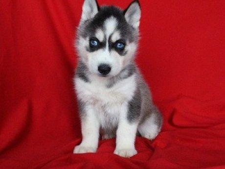 Regalo Cachorros Siberian Husky -