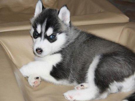 REGALO Ojos azules Cachorros Siberian Husky