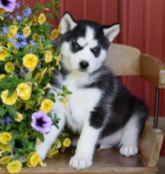 REGALO Cachorros de Husky Siberiano para adopción -