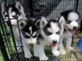 Regalo camada de preciosos siberian husky cachorros para adopcion
