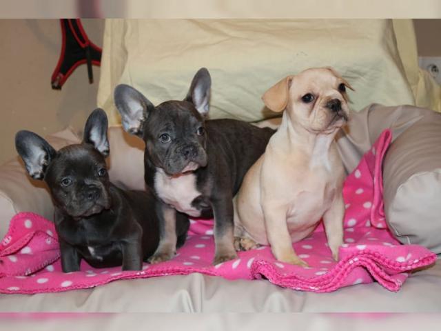 Cachorros de bulldog francés de calidad y saludable lk