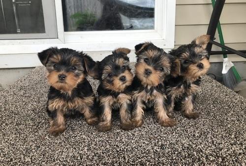Regalo cachorros de yorkshire en adopción