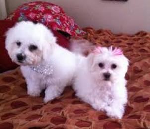 Cachorros Bichon Maltes mini toy
