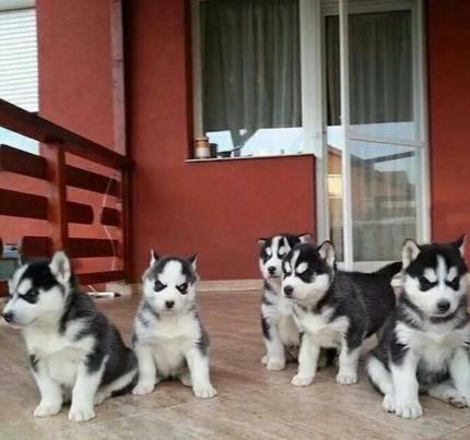 Regalo Preciosos Cachorros Husky Siberiano.
