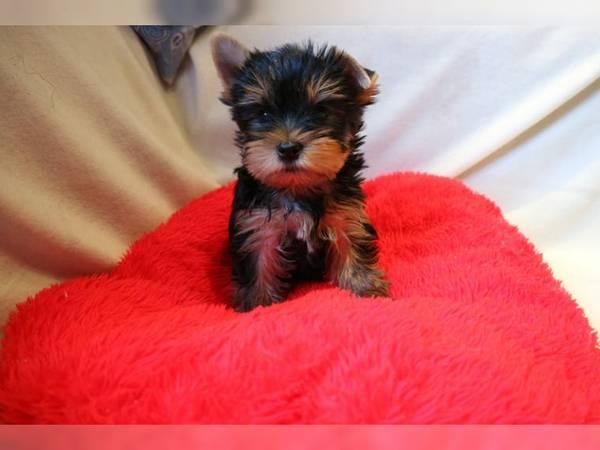 Regalo cachorros yorkshire terrier mini toy con pedigree