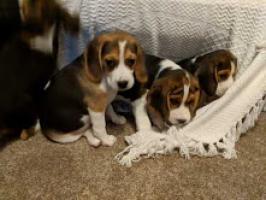 Preciosa raza pura beagles cachorros. Para adopción ...