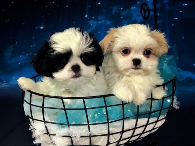 Regalo Cachorros Shih Tzu Macho y Hembra Para Su Adopción