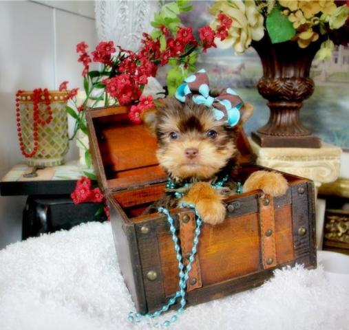 Regalo Casa tren Yorkshire mini juguete Para Su Adopción