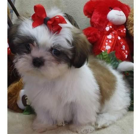 Regalo Cachorro de Shih Tzu entrenado en casa para adopción