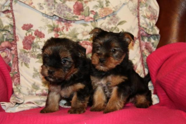 Regalo Cachorros yorkshire terrier mini toy con pedigree .