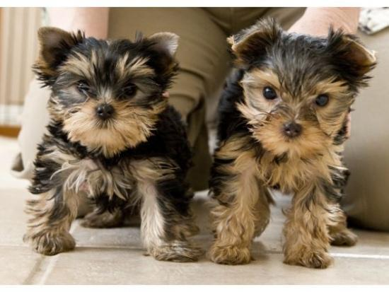 Regalo Cachorros Yorkshire Terrier Mini Toy