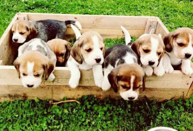 Regalo Casa tren Cachorros Beagle Para Su Adopción
