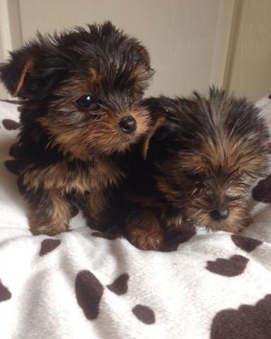 Regalo cachorros de yorkshire terrier - miniture