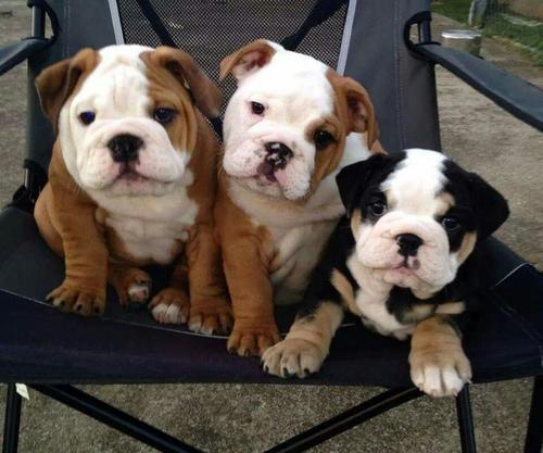 Regalo Impresionate Cachorros Bulldog Ingles ,