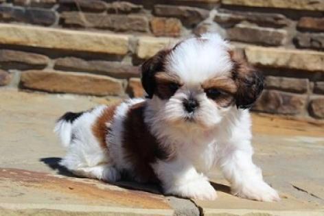Lindos cachorros Shih tzu para adopcion libre