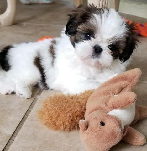 Regalo Cachorro de Shih Tzu entrenado en casa para adopción