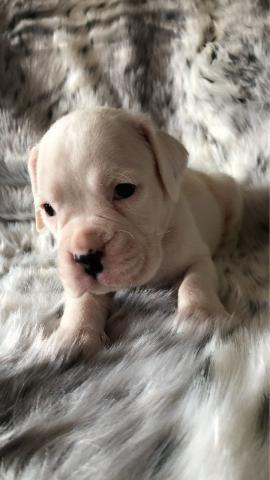 Hermoso cachorro de niño y niña boxer blanco Kc