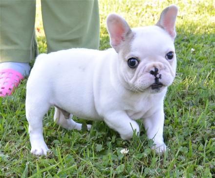 Regalo, cachorros de bulldog francés para adopción.