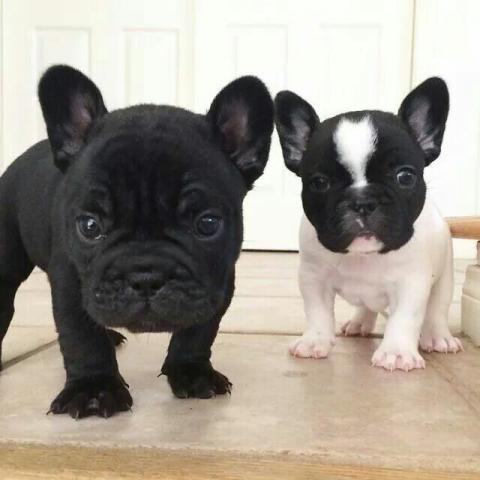 Regalo macho y hembra Bulldogs frances cachorros